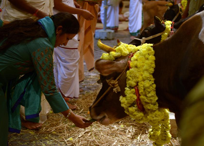 cow-feeding1