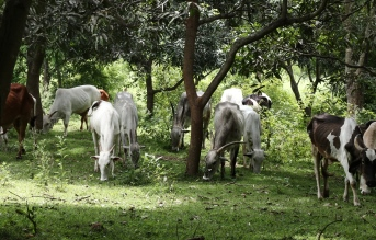 cows at goshala